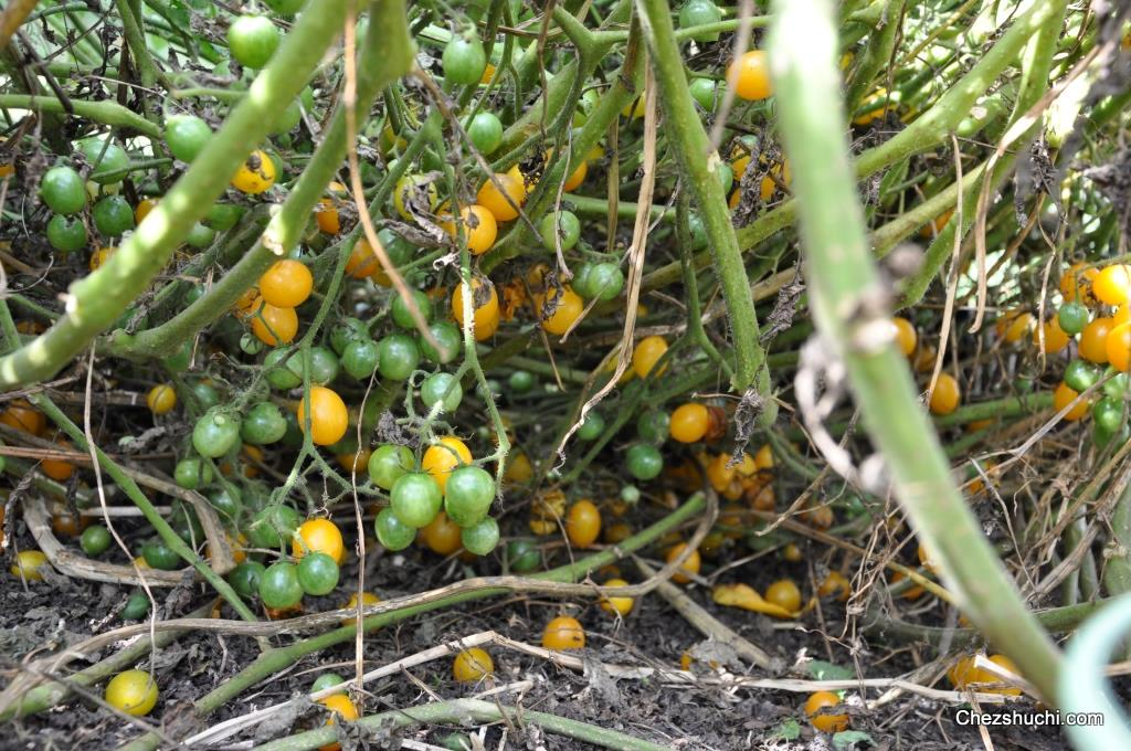 homegrown tomatoes/ tomatoes घर की बगिया के टमाटर, Natural flower